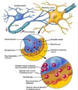 Neurone1_156x180
