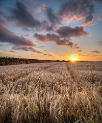 barley-field-in-the-cornish-countryside-PSB69Y6.jpg