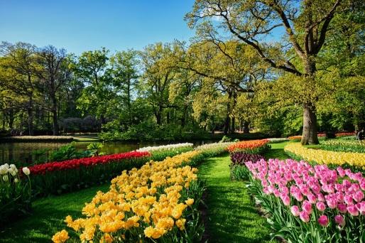 blooming-tulips-flowerbeds-in-keukenhof-flower-PWQ3X34.jpg