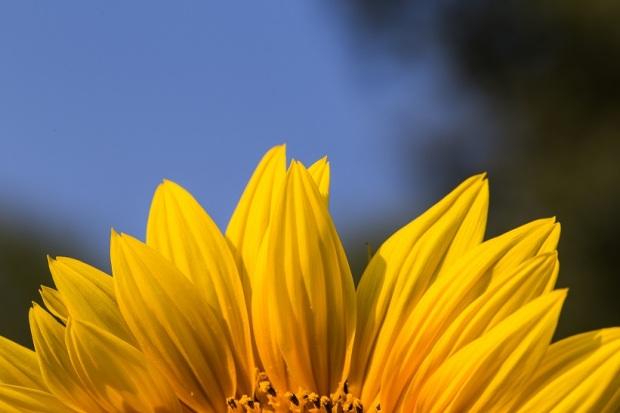close-up-of-sunflower-on-field-PTYNKJU.JPG