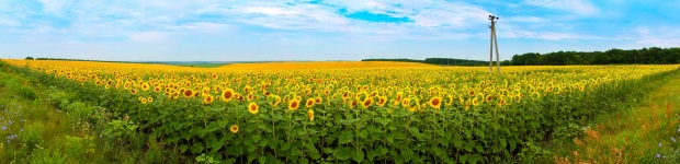 sunflower-field-panorama-P3KE39X.jpg