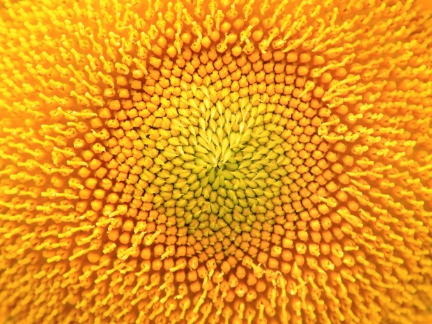 yellow-sunflower-PWX52CP.jpg
