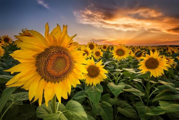 sunflowers-XB3YMA2.jpg
