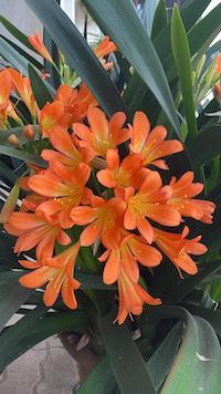 Infiorescenza arancio acceso della Clivia miniata dalle lunghe foglie carnose e dalle radici rizomatose