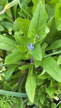 Tenerissimo Myosotis, il Non ti scordar di me che cresce spontaneo in molti angoli del giardino di Neamente