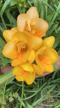 Freesia: colore forma fragranza in un'armonica perfezione